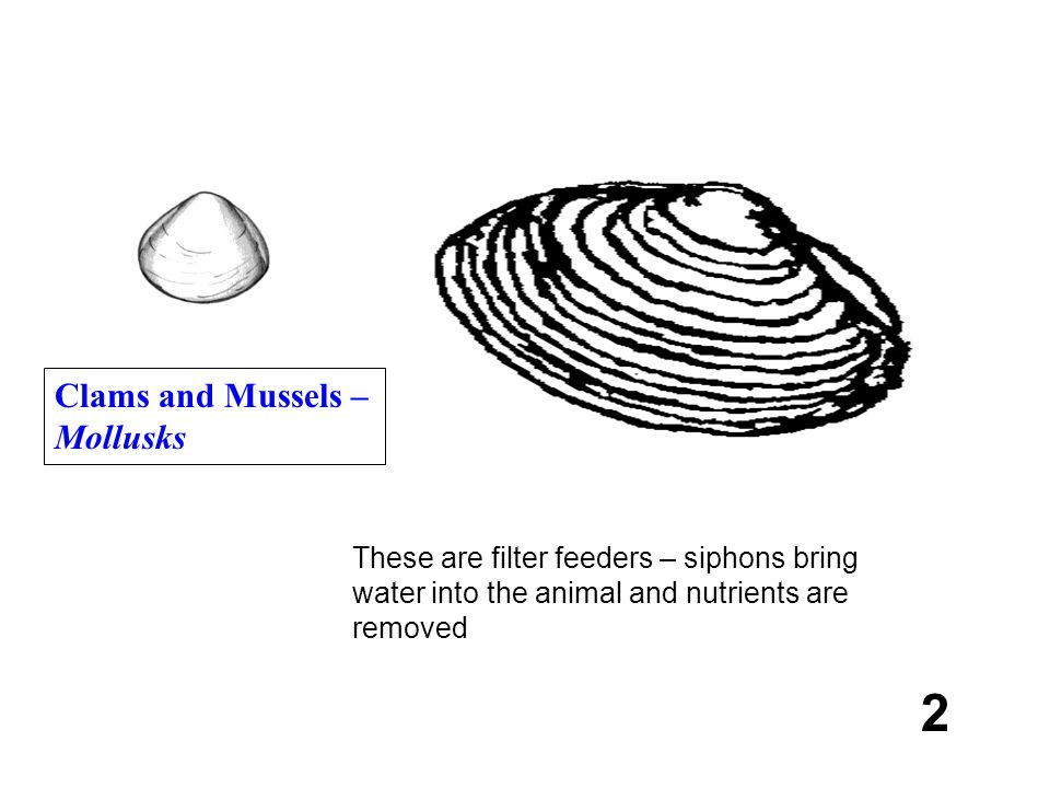 2 Clams and Mussels – Mollusks These are filter feeders – siphons bring water into the animal and nutrients are removed