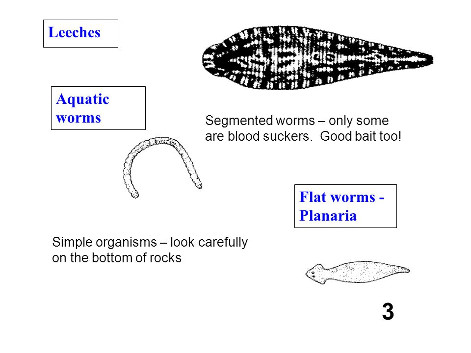 3 Segmented worms – only some are blood suckers. Good bait too! Leeches Aquatic worms Flat worms - Planaria Simple organisms – look carefully on the b