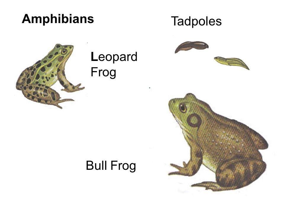 Amphibians Salamanders – Larvae have gills, legs Mudpuppy – retains gills throughout life