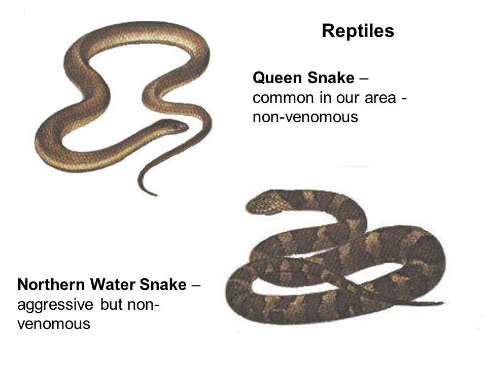 Queen Snake – common in our area - non-venomous Northern Water Snake – aggressive but non- venomous
