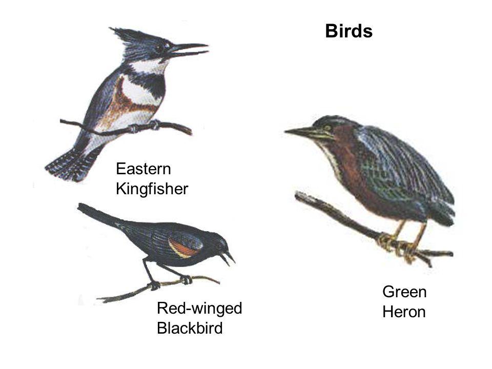 Birds Eastern Kingfisher Green Heron Red-winged Blackbird