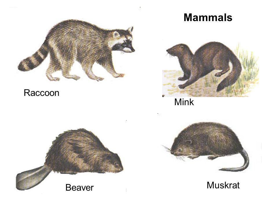 Mammals Raccoon Mink Beaver Muskrat