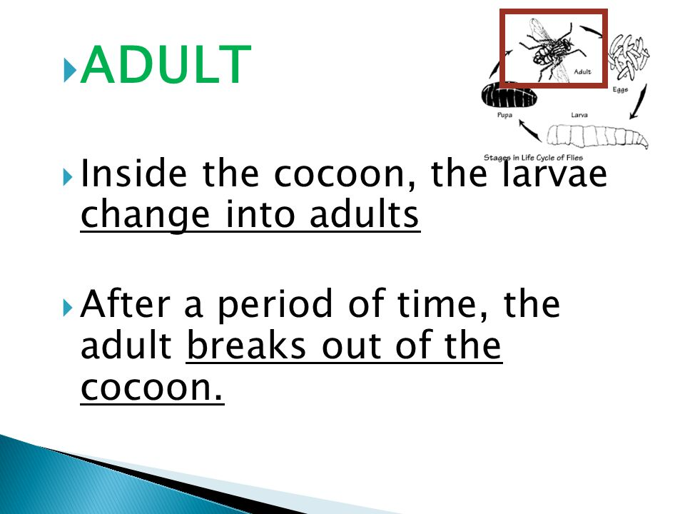  ADULT  Inside the cocoon, the larvae change into adults  After a period of time, the adult breaks out of the cocoon.