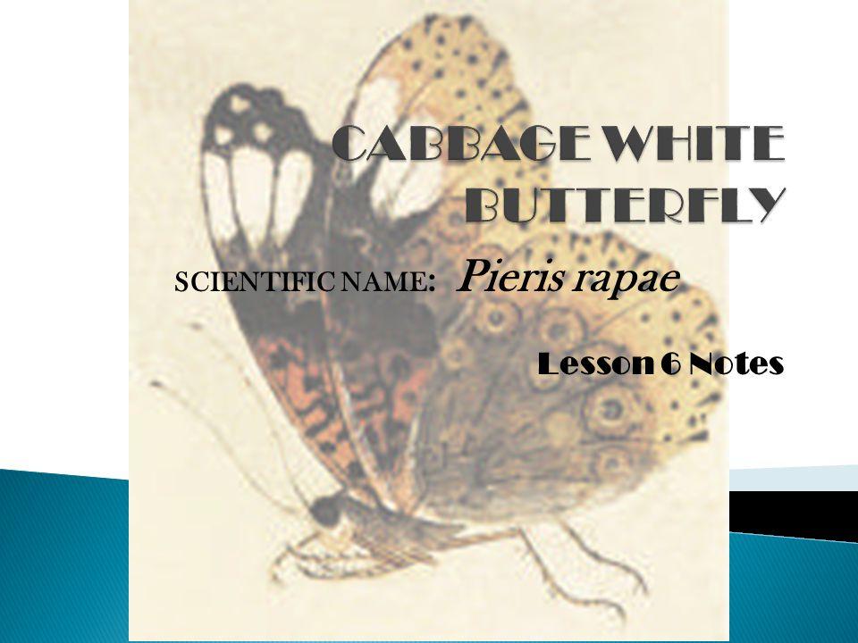 Lesson 6 Notes SCIENTIFIC NAME : Pieris rapae