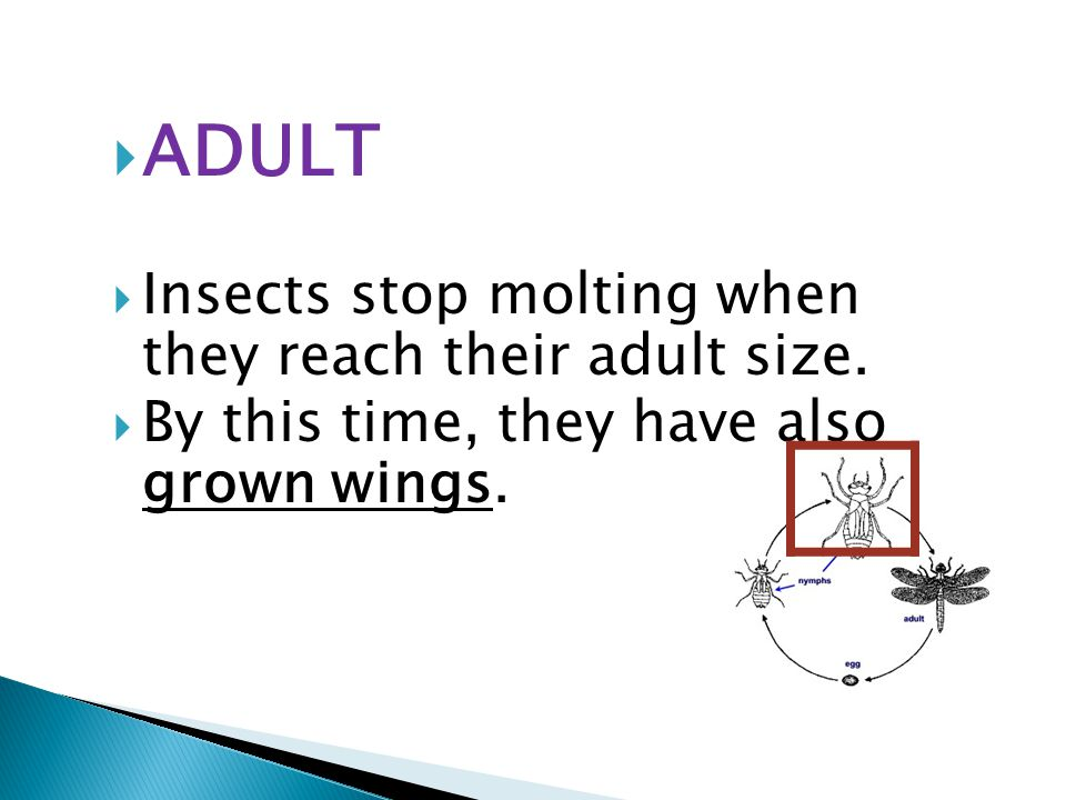  ADULT  Insects stop molting when they reach their adult size.