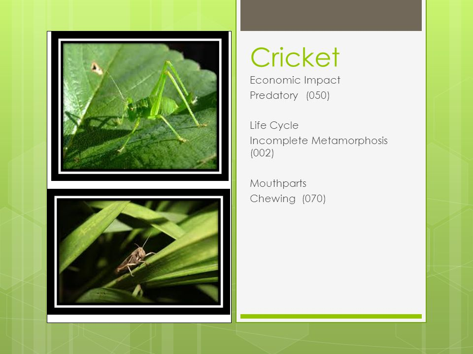 Cricket Economic Impact Predatory (050) Life Cycle Incomplete Metamorphosis (002) Mouthparts Chewing (070)