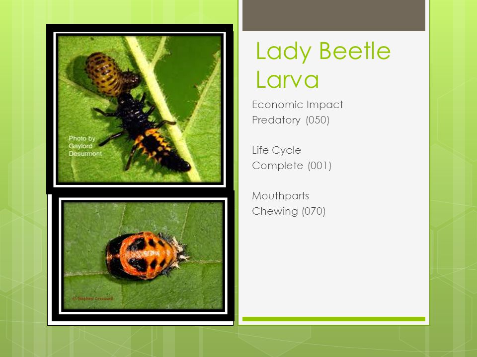Lady Beetle Larva Economic Impact Predatory (050) Life Cycle Complete (001) Mouthparts Chewing (070)