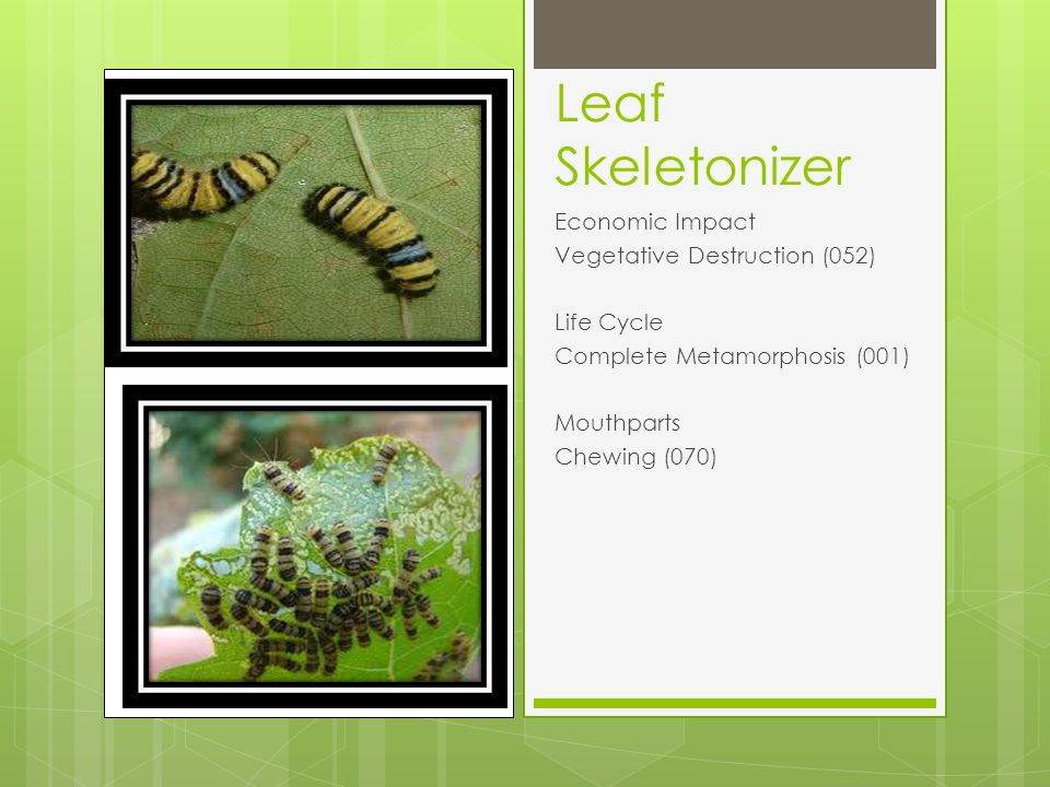 Leaf Skeletonizer Economic Impact Vegetative Destruction (052) Life Cycle Complete Metamorphosis (001) Mouthparts Chewing (070)