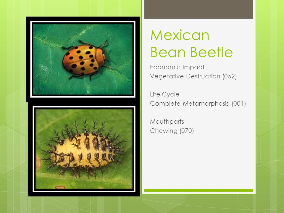 Mexican Bean Beetle Economic Impact Vegetative Destruction (052) Life Cycle Complete Metamorphosis (001) Mouthparts Chewing (070)