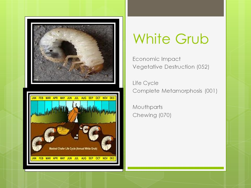 White Grub Economic Impact Vegetative Destruction (052) Life Cycle Complete Metamorphosis (001) Mouthparts Chewing (070)