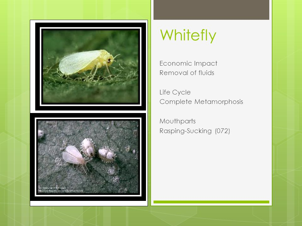 Whitefly Economic Impact Removal of fluids Life Cycle Complete Metamorphosis Mouthparts Rasping-Sucking (072)