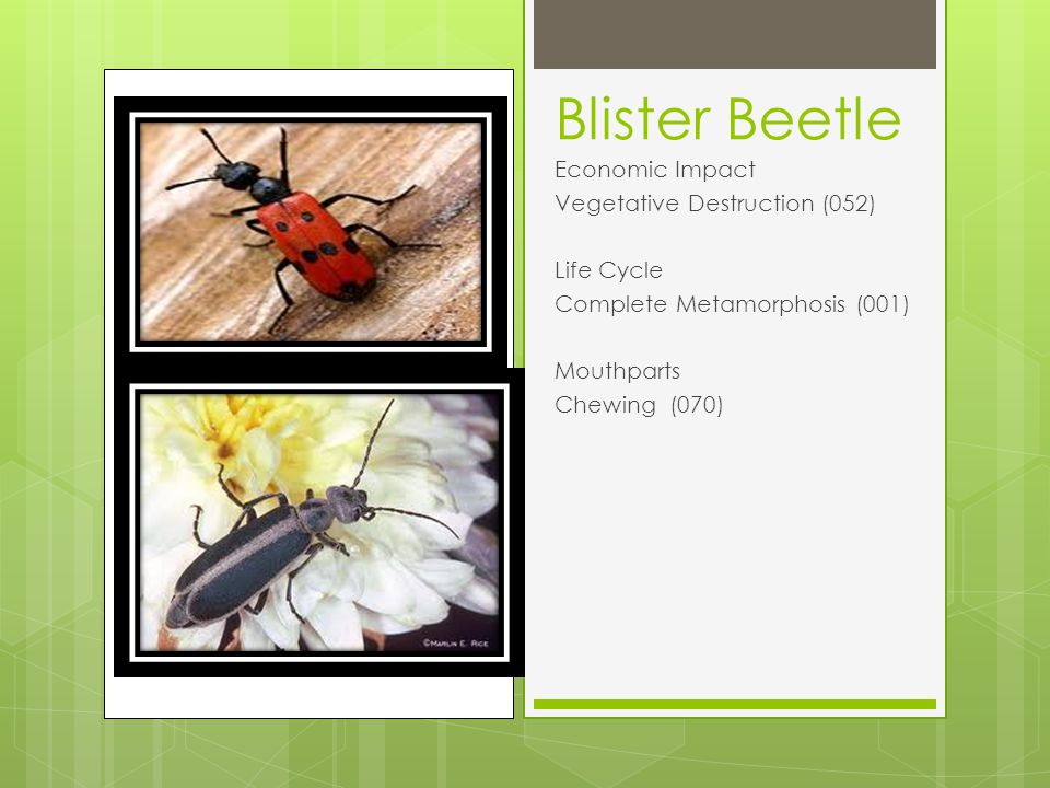 Blister Beetle Economic Impact Vegetative Destruction (052) Life Cycle Complete Metamorphosis (001) Mouthparts Chewing (070)