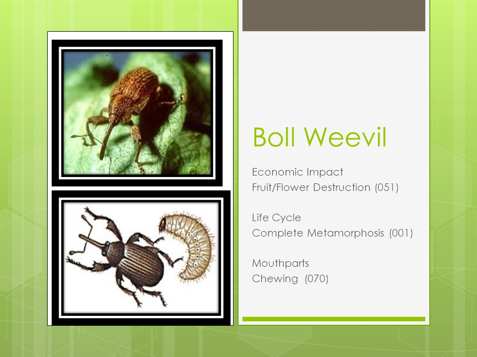 Boll Weevil Economic Impact Fruit/Flower Destruction (051) Life Cycle Complete Metamorphosis (001) Mouthparts Chewing (070)