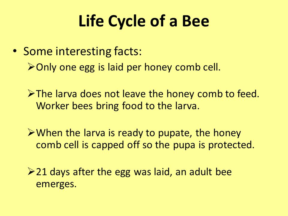 Life Cycle of a Bee Some interesting facts:  Only one egg is laid per honey comb cell.
