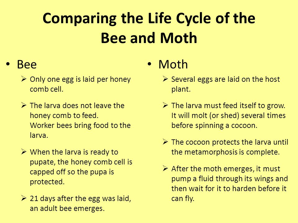 Comparing the Life Cycle of the Bee and Moth Bee  Only one egg is laid per honey comb cell.