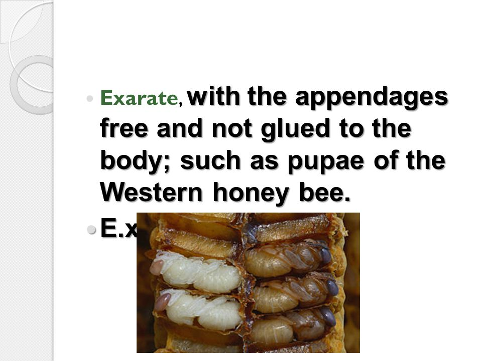 with the appendages free and not glued to the body; such as pupae of the Western honey bee. Exarate, with the appendages free and not glued to the bod