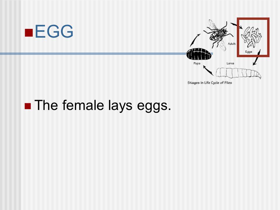 EGG The female lays eggs.