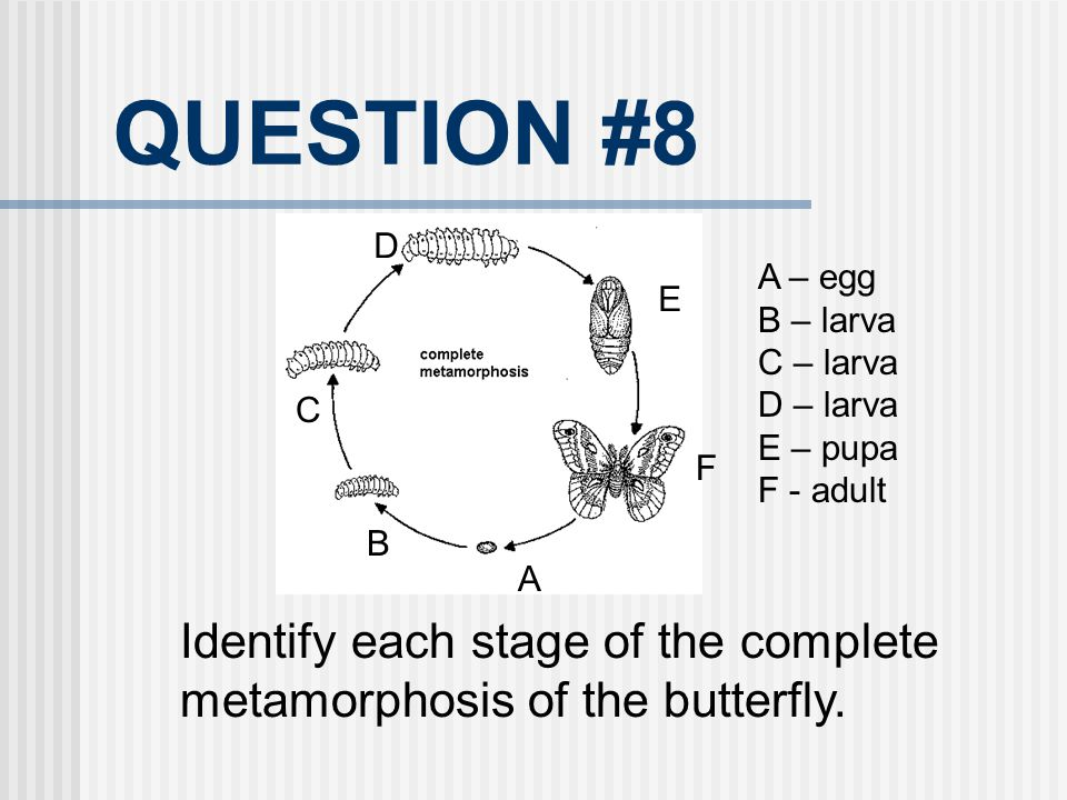 QUESTION #8 Identify each stage of the complete metamorphosis of the butterfly. A B C D E F A – egg B – larva C – larva D – larva E – pupa F - adult