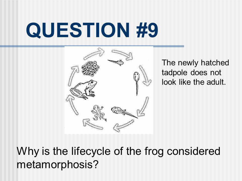 QUESTION #9 Why is the lifecycle of the frog considered metamorphosis? The newly hatched tadpole does not look like the adult.