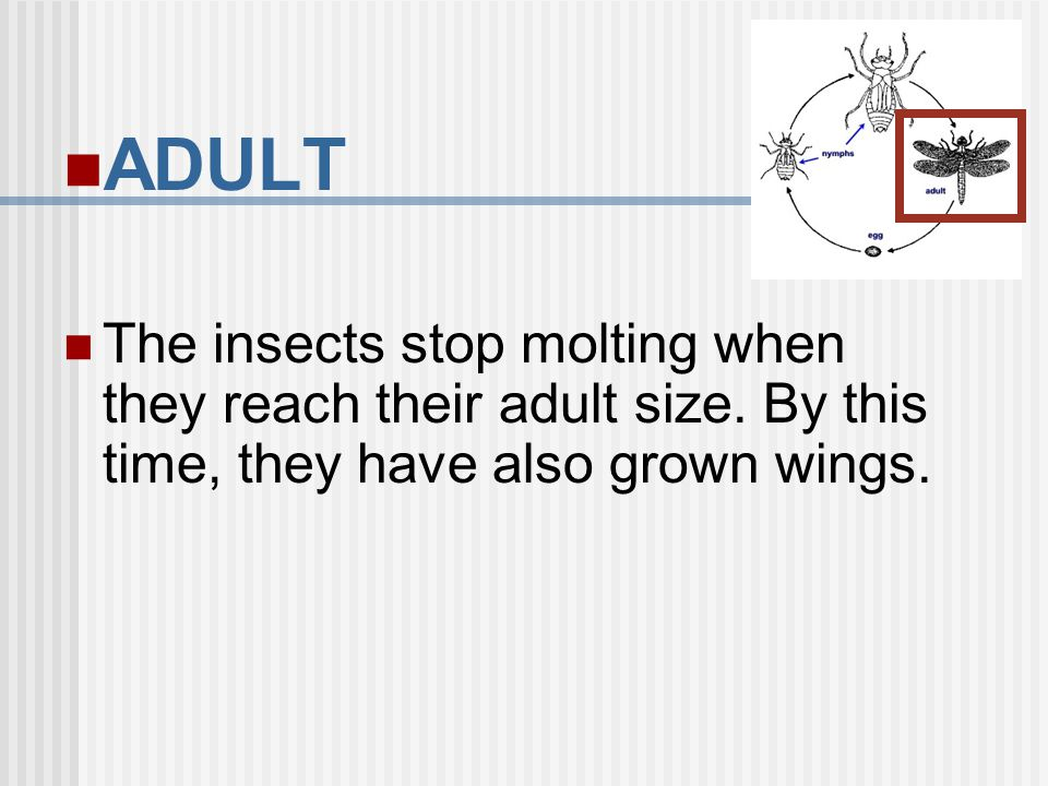 ADULT The insects stop molting when they reach their adult size. By this time, they have also grown wings.