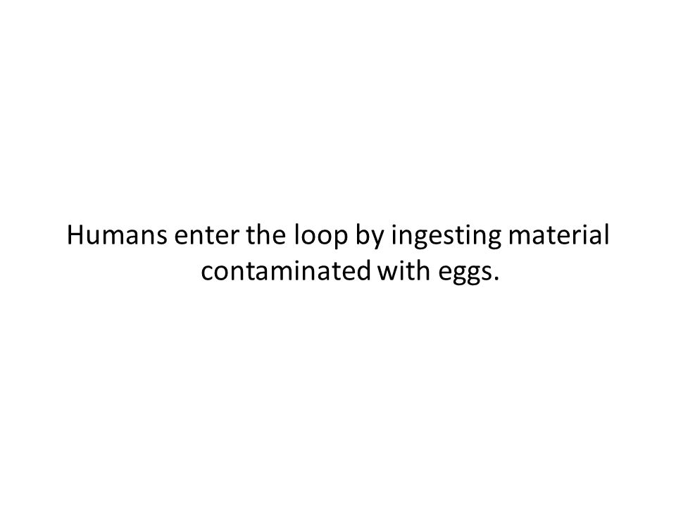 Humans enter the loop by ingesting material contaminated with eggs.