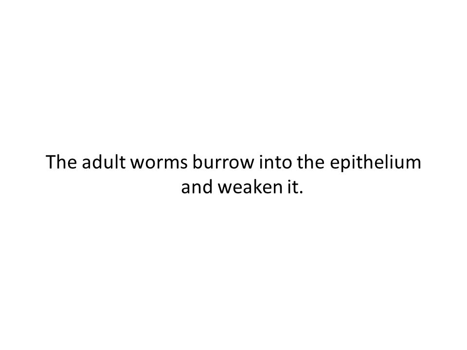 The adult worms burrow into the epithelium and weaken it.