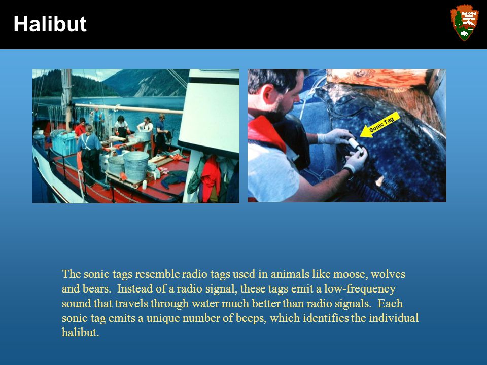 Glacier Bay National Park and Preserve Virtual Visit: Crabs Glacier Bay National Park and Preserve DRAFT Virtual Visit: Halibut Halibut The sonic tags resemble radio tags used in animals like moose, wolves and bears.