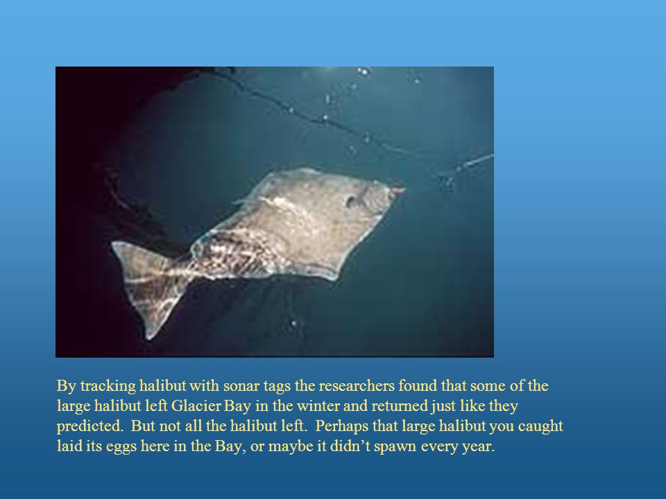 By tracking halibut with sonar tags the researchers found that some of the large halibut left Glacier Bay in the winter and returned just like they predicted.