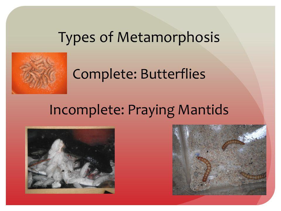 Types of Metamorphosis Complete: Butterflies Incomplete: Praying Mantids