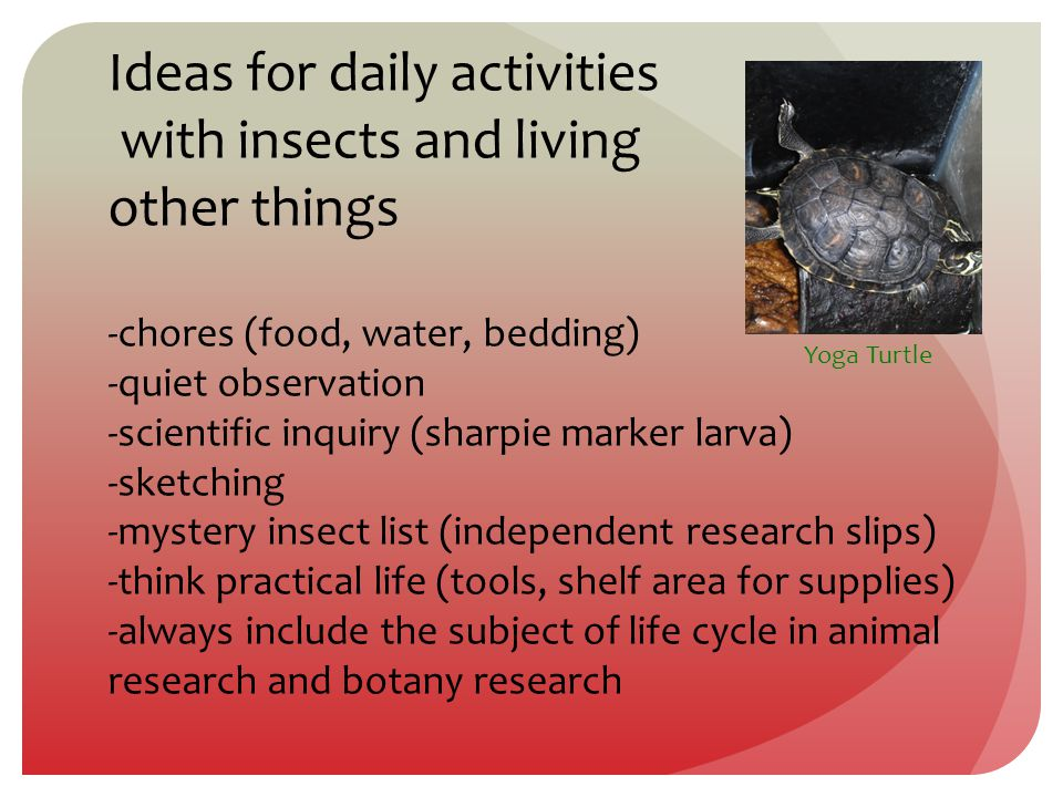 Ideas for daily activities with insects and living other things -chores (food, water, bedding) -quiet observation -scientific inquiry (sharpie marker larva) -sketching -mystery insect list (independent research slips) -think practical life (tools, shelf area for supplies) -always include the subject of life cycle in animal research and botany research Yoga Turtle