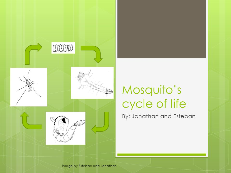 Mosquito's cycle of life By: Jonathan and Esteban Image by Esteban and Jonathan
