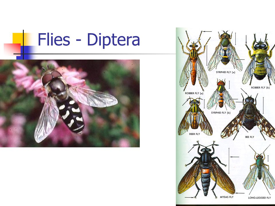 Flies - Diptera
