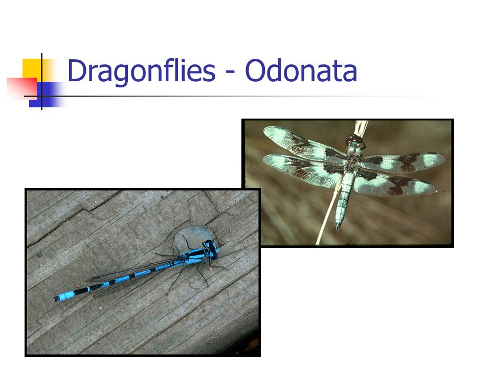 Dragonflies - Odonata