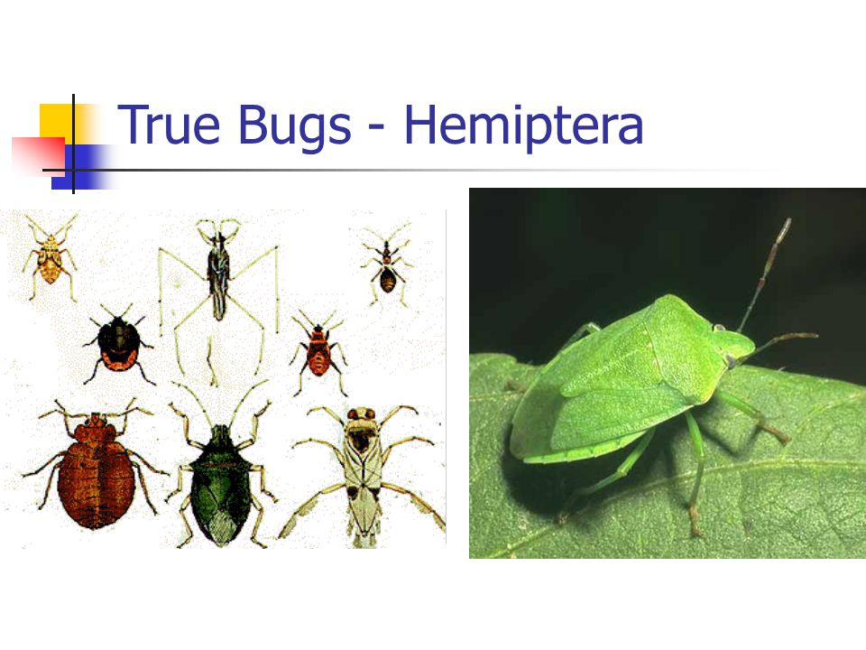 True Bugs - Hemiptera