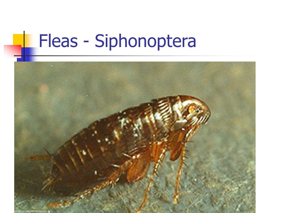 Fleas - Siphonoptera