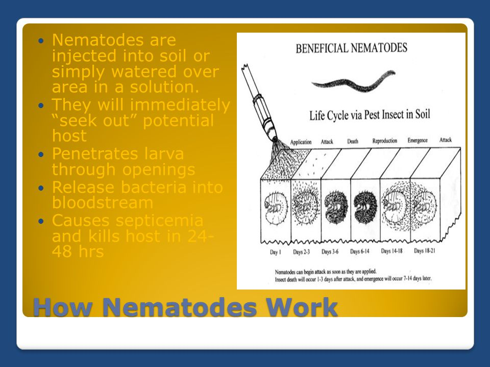 "How Nematodes Work Nematodes are injected into soil or simply watered over area in a solution. They will immediately ""seek out"" potential host Penetra"
