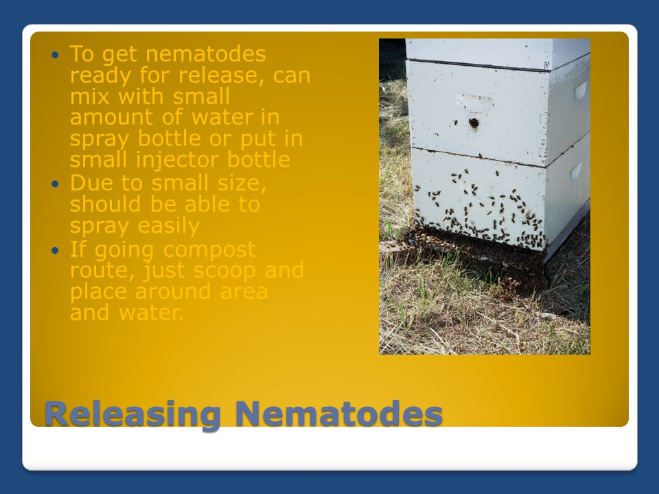 Releasing Nematodes To get nematodes ready for release, can mix with small amount of water in spray bottle or put in small injector bottle Due to smal
