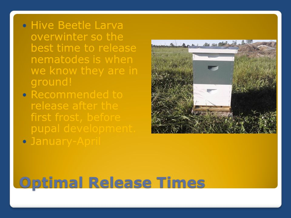 Optimal Release Times Hive Beetle Larva overwinter so the best time to release nematodes is when we know they are in ground! Recommended to release af