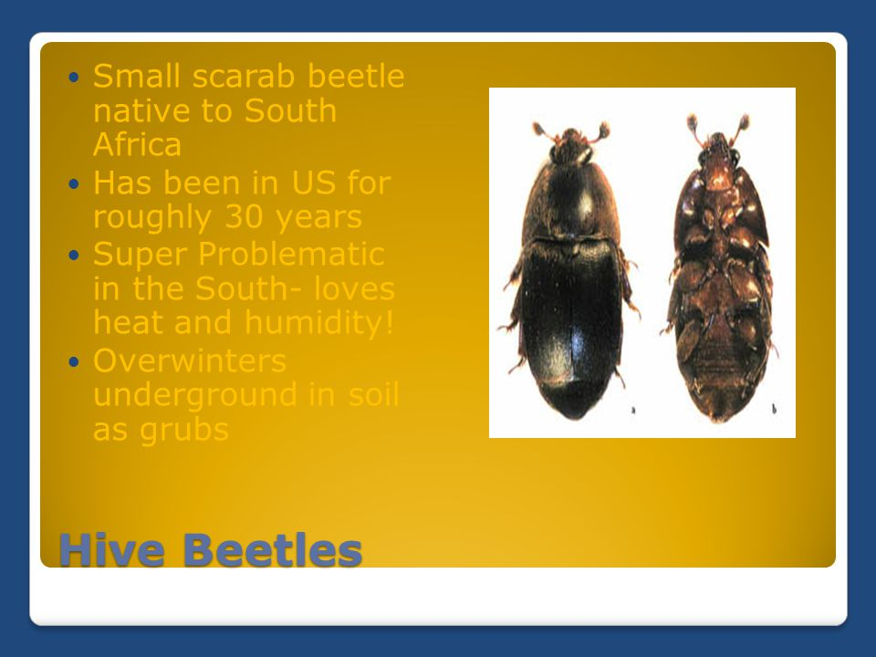 Hive Beetles Small scarab beetle native to South Africa Has been in US for roughly 30 years Super Problematic in the South- loves heat and humidity! O