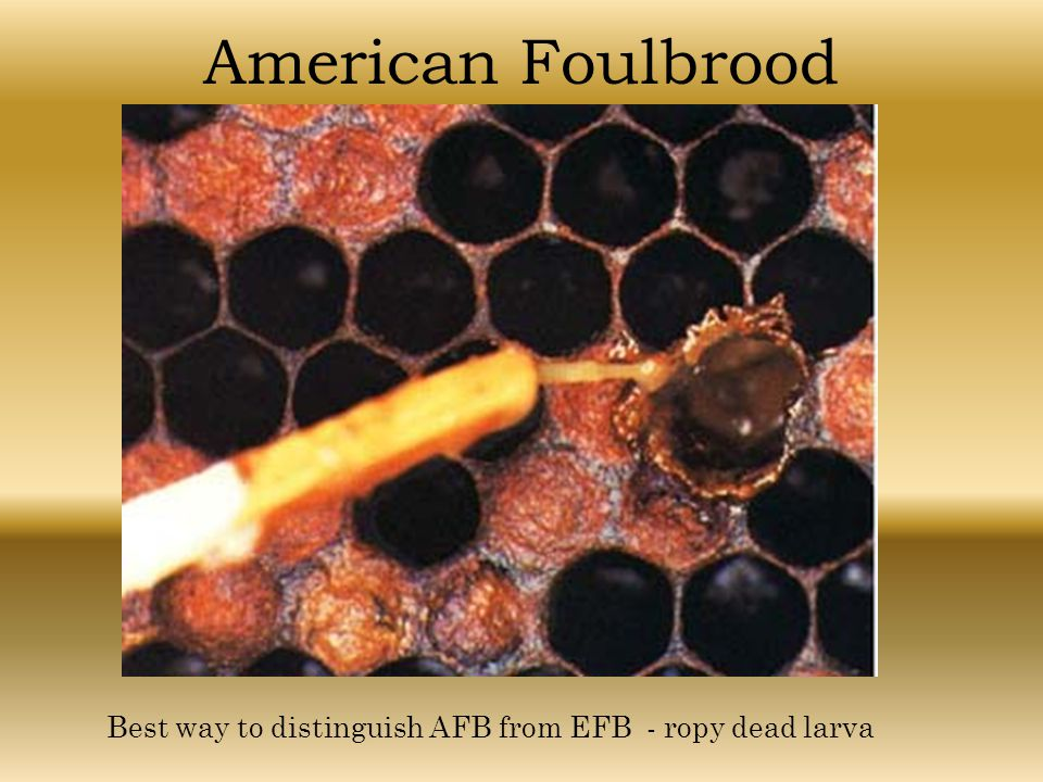 American Foulbrood Best way to distinguish AFB from EFB - ropy dead larva