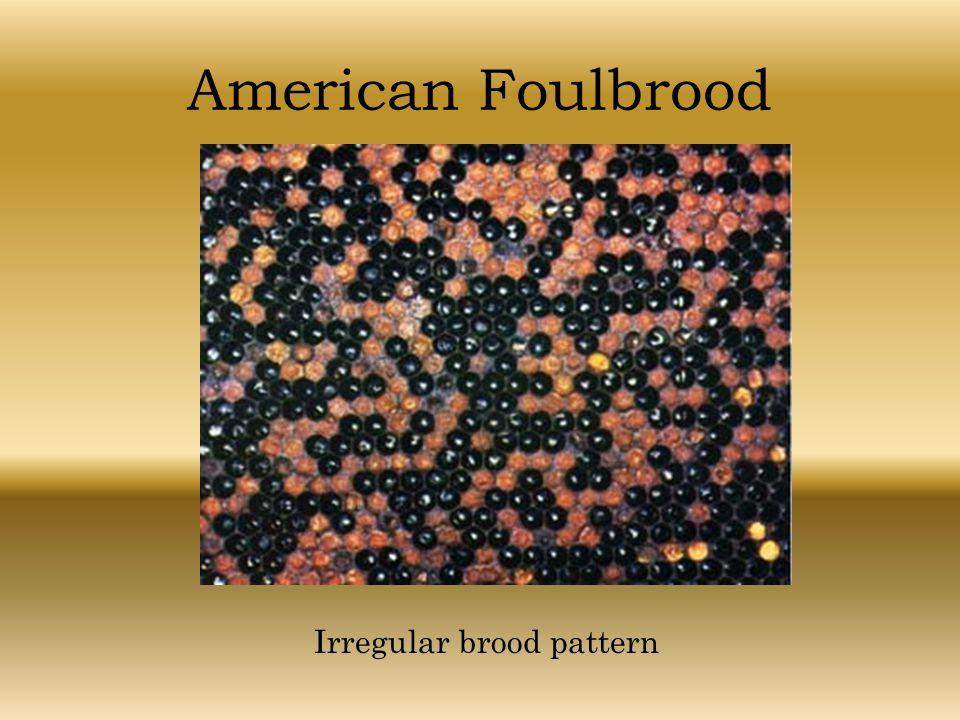 American Foulbrood Irregular brood pattern