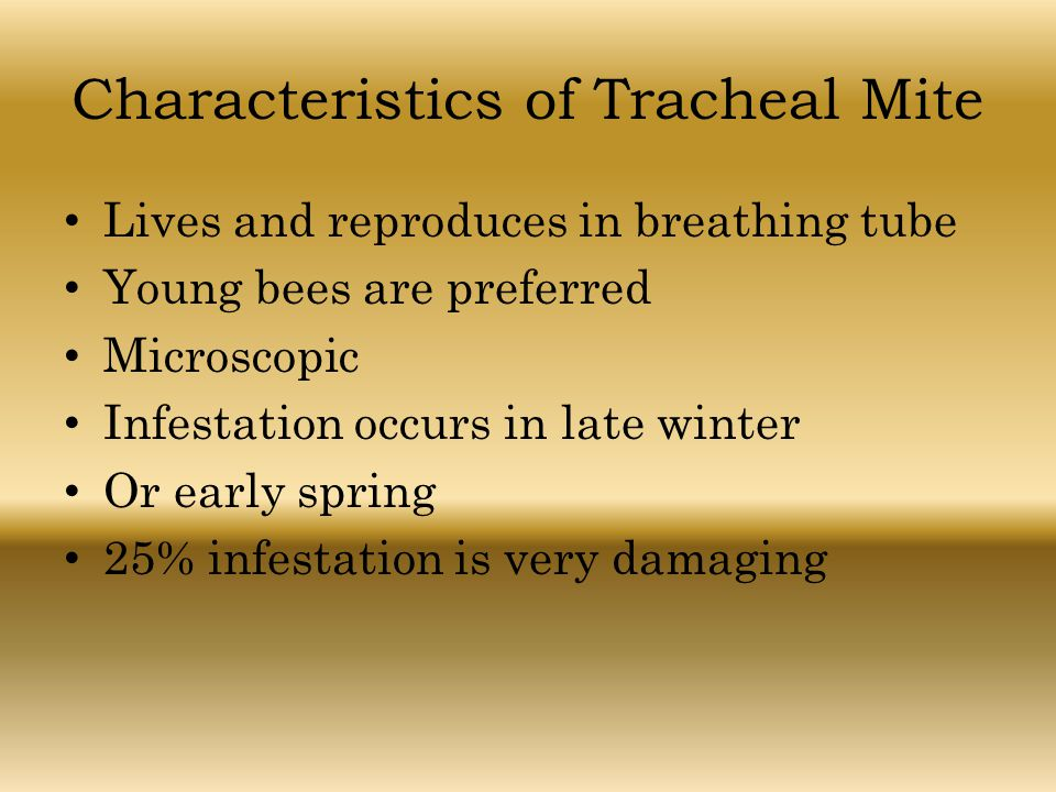 Characteristics of Tracheal Mite Lives and reproduces in breathing tube Young bees are preferred Microscopic Infestation occurs in late winter Or earl