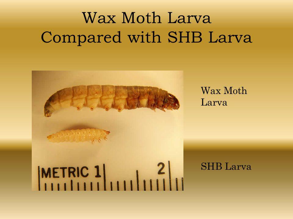 Wax Moth Larva Compared with SHB Larva Wax Moth Larva SHB Larva