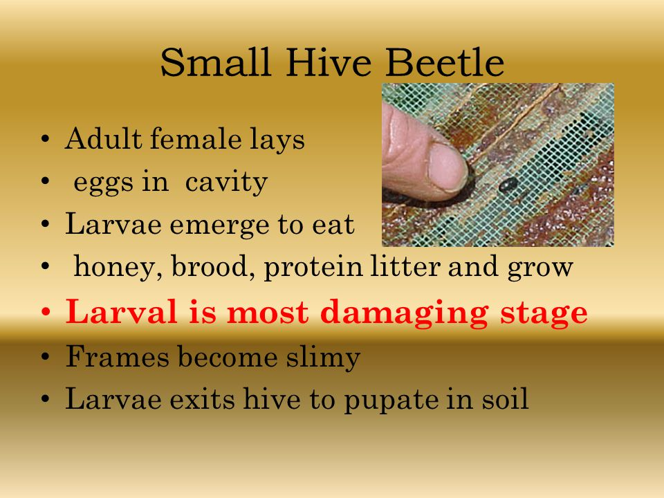 Small Hive Beetle Adult female lays eggs in cavity Larvae emerge to eat honey, brood, protein litter and grow Larval is most damaging stage Frames bec