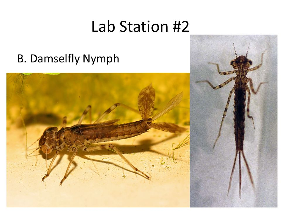 Lab Station #2 B. Damselfly Nymph