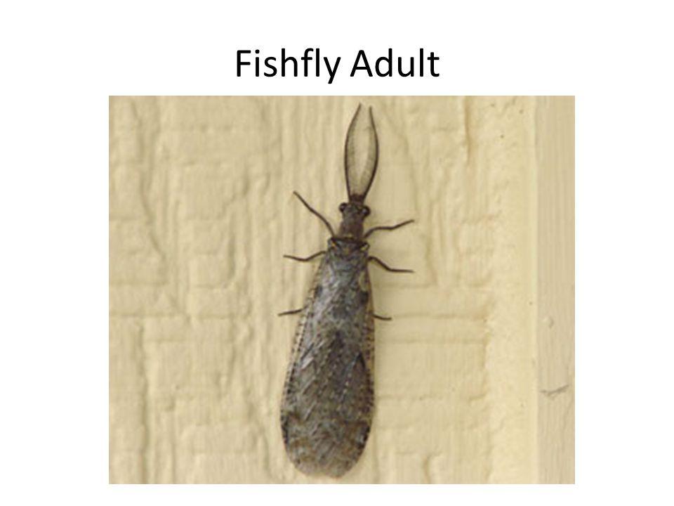 Fishfly Adult