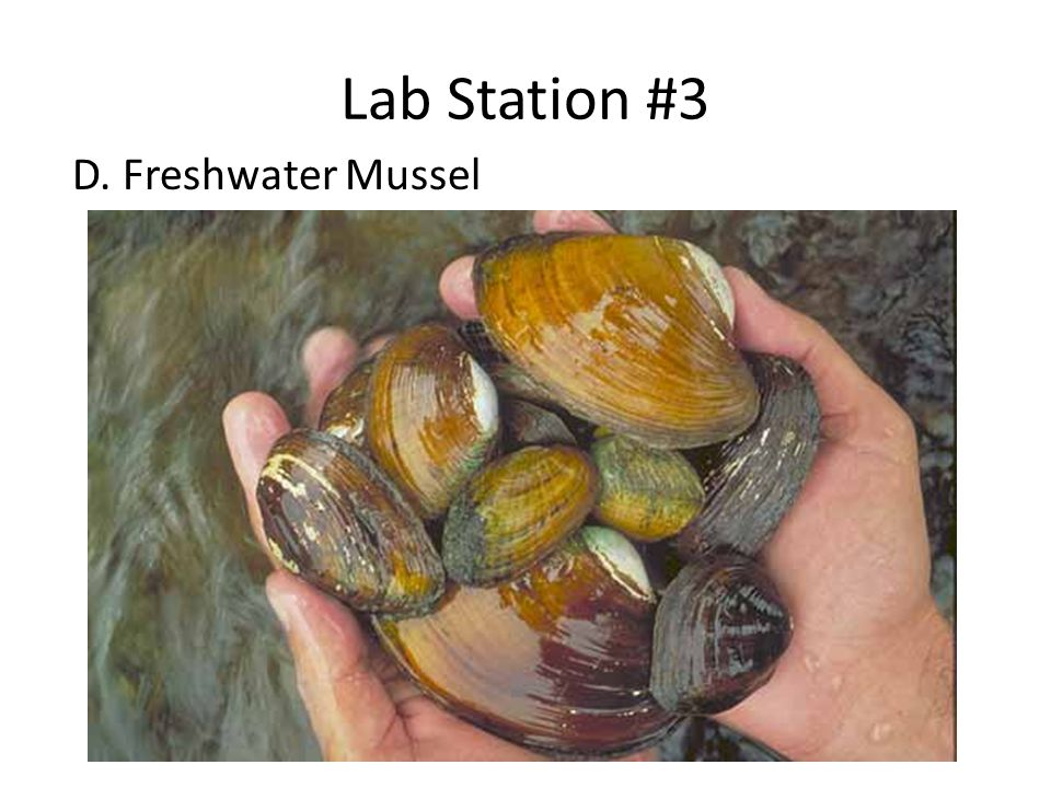 Lab Station #3 D. Freshwater Mussel