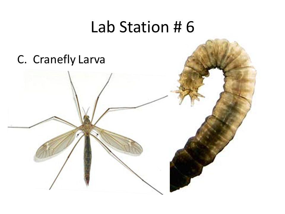 Lab Station # 6 C. Cranefly Larva