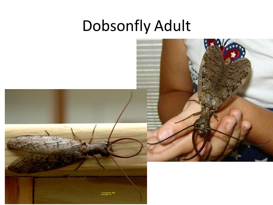 Dobsonfly Adult