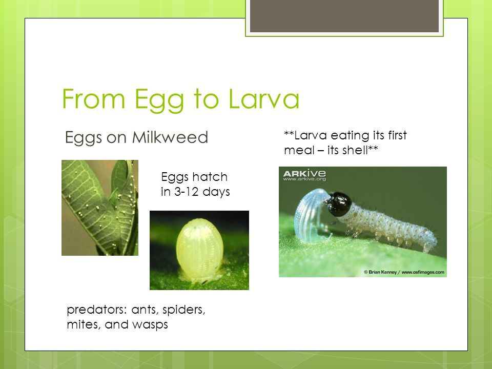 From Egg to Larva Eggs on Milkweed **Larva eating its first meal – its shell** Eggs hatch in 3-12 days predators: ants, spiders, mites, and wasps